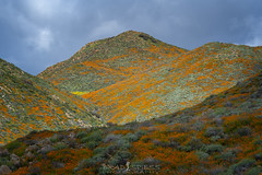 A Path for Light (ihikesandiego) Tags: walker canyon poppy fields lake elsinore southern california 2019 super bloom