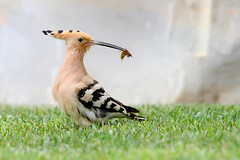 Hoopoe (Upupa epops) (Wildlife Photography by Matt Latham) Tags: upupaepops hoopoe portugal algarve mattlatham canon birdphotography bird wildlife wildlifephotography breeding food nature naturephotography