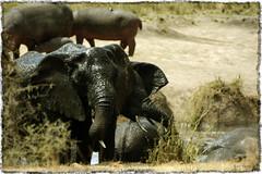 having a bath (vitofonte) Tags: elefante elephant hipopótamo hippopotamus hippo hippopotamusamphibius loxodontaafricana serengetinationalpark charca pond tanzania sabana savannah africa naturaleza nature natura natureza vitofonte ngc npc