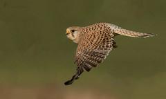 Turmfalkendame kurz nach dem Absprung (normen.nikon) Tags: d500 nikon 200500 feisol sirui birdofprey greifvogel bird vogel tiere frei wildlife natur