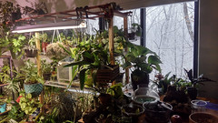 Green is good for the soul (Kaemattson) Tags: houseplant winter philodendron snapdragon pothos orchid oncidium rhipsalis sedum fern calatheaorbifolia calathea scandinsis pilea peperomia green greenery monochrome flickrfriday epiprenum geranium