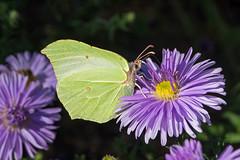 Zitronenfalter (planetvielfalt) Tags: coliadinae dübenerheide lepidoptera pieridae badschmiedeberg sachsenanhalt deutschland