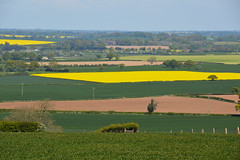 Rapeseed Fields in Shropshire (Seventh Heaven Photography - (Flora)) Tags: rapeseed rape yellow flowers bloom flora carpet field shropshire nikon d3200 sky blue landscape