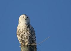 Oak Hammock Snowy...#1 (Guy Lichter Photography - 4.2M views Thank you) Tags: canon 5d3 canada manitoba oakhammockmarsh wildlife animal animals bird birds owl owls snowyowl