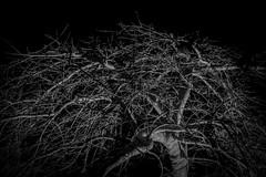 impression (husiphoto) Tags: bw blackandwhite ahorn maple japanisch japanese baum tree holz wood nacht night nikon d750