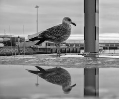 Just a Reflektor (annie.cure) Tags: water effect reflection repetition texture mysterious porto monochrome portugal photojournalism seagull atmosphere canon 750d blackandwhite noise animal bird details dark strange nature m
