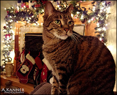 Now It's Andrew's Turn... (angelakanner) Tags: furbaby christmas adorable pet cat