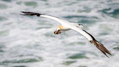 Gathering nest material (Stefan Marks) Tags: animal australasiangannet bird flying gannet morusserrator nature outdoor wave aucklandwaitakere northisland newzealand