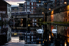 Migrating Units (Andrew Shenton) Tags: class 170 leeds canal railway swans