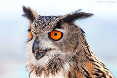 Eagle Owl... (Glenn van Windt) Tags: bubobubo eagleowl oehoe aves bird vogel birdofprey roofvogel raptor portrait portret owl uil nature natuur canonef300mmf28lisusm