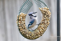 Blue Jay hanging out at the feeder