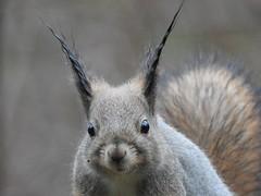 Red Squirrel (Sciurus vulgaris) (eerokiuru) Tags: redsquirrel sciurusvulgaris eichhörnchen orav animal p900 nikoncoolpixp900 specanimal