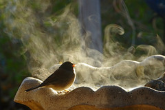 Morning cold. Water vapor. Junco. (cbrozek21) Tags: winter vapor mist fog birdbath bird junco freeze light