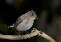 Red-Breasted Flycatcher (J J McHale) Tags: redbreastedflycatcher ficedulaparva flycatcher scotland wildlife nature birdwatcher