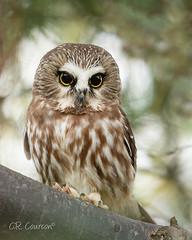 Cuteness (CR Courson) Tags: northernsawwhetowl owls strigidae birds birdphotography raptors raptor wildlife wildlifephotography birdsofprey crcourson chuckcourson owl cute cuteness