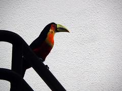tucano toucan tucán (Thaís Fernanda Raposo) Tags: nature toucan natureza tucano birds tropical