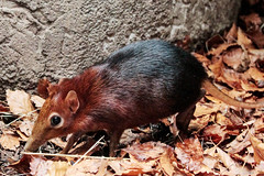 Black and rufous elephant shrew (K.Verhulst) Tags: blackandrufouselephantshrew steppeslurfhondje blijdorp diergaardeblijdorp rotterdam rotterdamzoo