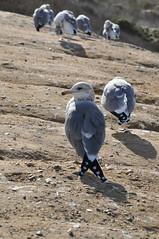 アメリカセグロカモメ (yuki_alm_misa) Tags: カモメ gull カリフォルニア 演習場 california lasfloresviewpoint usmccamppendleton theunitedstatesmarinecorps 西海岸 usmc アメリカ海兵隊
