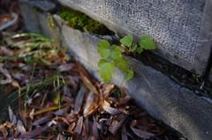 Surviving (Baubec Izzet) Tags: baubecizzet pentax bokeh nature green leaves autumn
