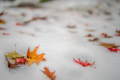 fall winter mix (kderricotte) Tags: leaves snow sony sonya7iii 50mm sonyfe50mm18 ilce7m3 sel50f18f autumn winter