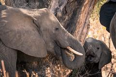 Elephant strippng bark (iamfisheye) Tags: sandisk omd calf 32gb animal ruaha elephant tanzaniaoctober2018 elephants nomadtanzania swtnz2018 camera olympus kit em12 kigelia oly01 vario zuiko elmarit lens zd 50200mm leicadg50200f2840