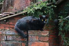 Black Cat on Brick Wall (Nancy CJ Hsu) Tags: blaccat cat brick wall stray eyyes