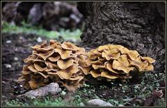 Armillaria mellea, Honey Mushroom, Honey fungus, Medena puza, Puza, Medenjača, Mraznica, Puzica, 6848 G (Morton1905) Tags: honeyfungus puza mdenjača mraznica puzica armillariamellea honeymushroom medenapuza medenjača
