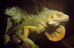 groene leguaan Ouwehands 094A0708 (j.a.kok) Tags: reptiel reptile leguaan groeneleguaan ouwehands dier animal
