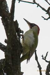 Zelena žolna (natalija2006) Tags: european green woodpecker picus viridis female zelena žolna samica picidae wildlife nature narava backyard slovenia