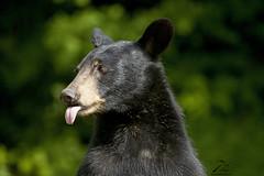 Raspberry (Seventh day photography.ca) Tags: blackbear bear sow animal nature wildanimal wildlife mammal ontario canada summer chrismacdonald seventhdayphotography