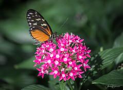IMG_9541 (Aaron Burrows Photography) Tags: butterfly flowers pollination pinkflower butterflyandflower flowerandbutterfly