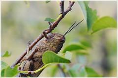 ([JBR]) Tags: sauterelle insecte insect green vert verde feuillage macro closeup nature