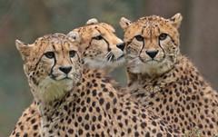 cheetah Burgerszoo 094A1422 (j.a.kok) Tags: animal africa afrika mammal cheetah jachtluipaard acinonyxjubatus acinonyxjubates predator zoogdier dier burgerszoo burgerzoo
