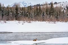 Peace On Earth... (Amy Hudechek Photography) Tags: deer river snow winter january grand teton national park gtnp peace joy christmas wildlife nature amyhudechek wyoming