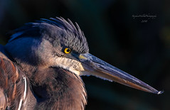Great Blue Heron, Jersey. (stephenwalshphoto) Tags:
