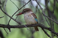 Brown-hooded Kingfisher (f) (leendert3) Tags: leonmolenaar southafrica phalaborwa limpopoprovince wildlife nature birds brownhoodedkingfisher naturethroughthelens ngc npc