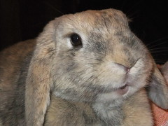 Cutie face ^_^ (eveliensbunnypics) Tags: bunny rabbit lop lopeared polly indoor inside house face closeup mouth mouf lips pink eye eyes lashes eyelashes okt