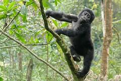 Gorilla beringei Bwindi 270718 AV-321 (alapi973) Tags: gorilla ouganda uganda africa afrique bwindi monkey primate fz1000