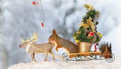 red squirrels are standing on a sledge with tree (Geert Weggen) Tags: animal christmas closeup cute horizontal looking mammal nature nopeople photography red rodent santaclaus snow squirrel taillight winter music performance ice candle light celebration holiday love sleigh sledge elk deer carriage chariot present gift package tree reindeer moose geert weggen bispgården jämtland sweden ragunda