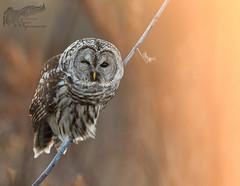 Barred Owl 12_18 1 (krisinct- Thanks for 15 Million views!) Tags: nikon d500 300 f28