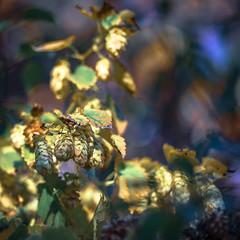 Humulus lupulus (Of Light & Lenses) Tags: carlzeisssonnar40180mm hopfen mediumformat hasselblad x1d humuluslupulus hop bokeh flower blume bokehlicious extremebokeh colorful nature pflanze bier deutschland naturfoto