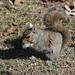 Squirrel 13