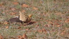 Chestnut-bellied Sandgrouse (harshithjv) Tags: bird birding groundbird sandgrouse chestnutbelliedsandgrouse pterocles exustus tetrapodomorpha pterocliformes pteroclidae aves avian canon 80d tamron bigron g2
