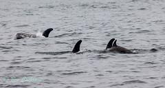 IMG_8518 (b_bev) Tags: montereybay monterey bay california usa wildlife sealife whales dolphins pelicans seals birdlife nature ocean sea