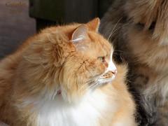 Not my cat but one of the neighbours (Cajaflez) Tags: pet cat kat katze chat gatto longhair langharig huisdier notmine portrait portret profile enprofile coth coth5