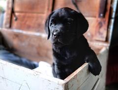New tribe member (Buck777) Tags: xh1 fuji companion family rural dog pet puppy blacklabrador