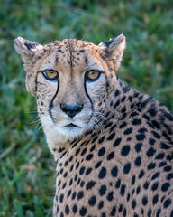 DSC_8764 (craigchaddock) Tags: 300mmf4pfedvr acinonyxjubatus cheetah d500 sandiegozoosafaripark tc14eiii