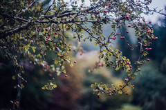 the coming of Fall VIII (culuthilwen) Tags: sonya99 sonyalpha99 sonysti fullframe helios44m6 helios 58mm f2 m42 autumn fall bokeh vintagelens dof depthoffield berries tree branches nature foliage