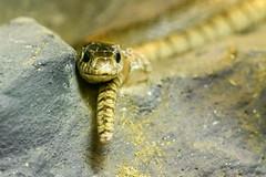 Snake (petr.petrov) Tags: zoo animal wildlife travel thailand snake eyes curiosity