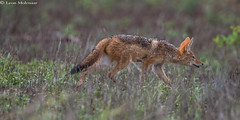 Black-backed Jackal (J) 1 (leendert3) Tags: leonmolenaar krugernationalpark southafrica wildlife nature mammal blackbackedjackal npc